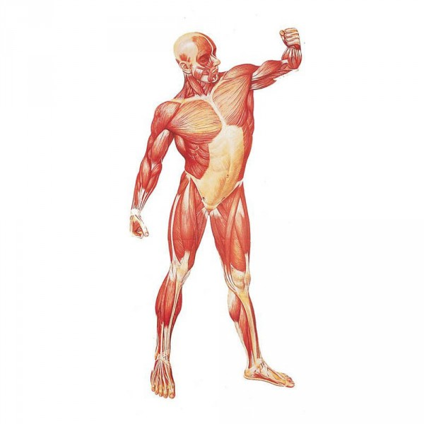 poster d'anatomie: la musculature humaine, devant, 84 x 200 cm