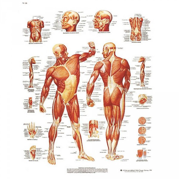 poster d'anatomie: la musculature humaine, 50 x 67 cm