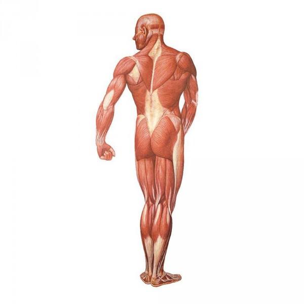 poster d'anatomie: la musculature humaine, verso, 84 x 200 cm